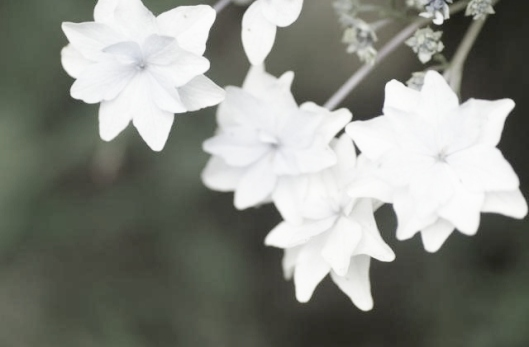 white_flowers_720x